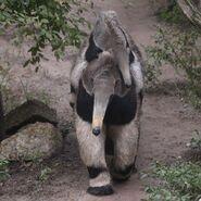 Anteater-Ride