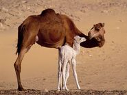 Dromedary-camels-in-egypt-cairo-egypt+1152 12850582452-tpfil02aw-24933