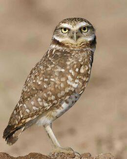 Burrowing Owl s52-12-055 l
