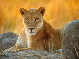 Graceful-lioness