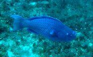 Scarus coeruleus in Madagascar Reef