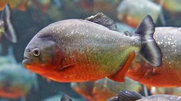 Red-bellied-piranha-solo.jpg.adapt.945.1