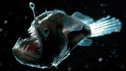 Deep-sea-anglerfish