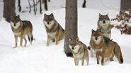 Gray-wolves-hunt 3ba9f5801bba803