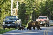 Grizzly bear tetons