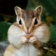 Hh-animals-chipmunk-3