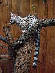 220px-Genetta genetta felina (Wroclaw zoo)