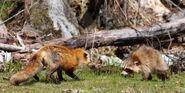 5-27-14-red-fox-raccoon-197