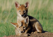 Coyote-pups-notecard-62