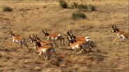 528241967-pronghorn-speed-herd-running