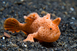 Frogfish6
