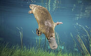 Large-Duck-billed-Platypus-photo