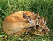White-tailed Deer 104 sigweb