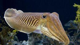 1920x1080 cuttlefish-HD-Wallpaper