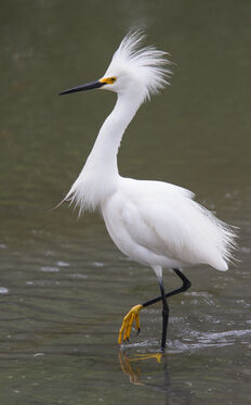Snowy-egret-with-feathers-flared-2