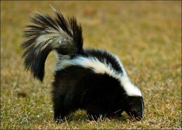 4886-skunk-picture