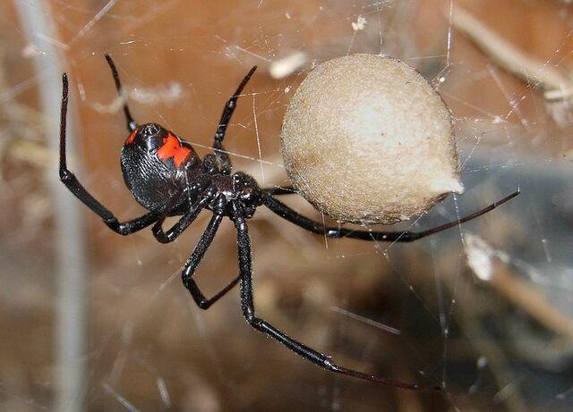 File:800px-Black Widow Spider 07-04-20.jpg