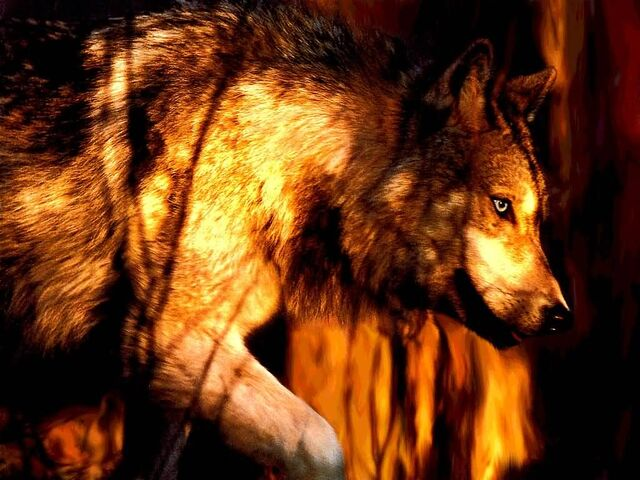 File:Wolf on the hunt.jpg