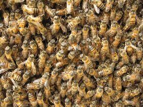 Swarm of bees at honeycomb1