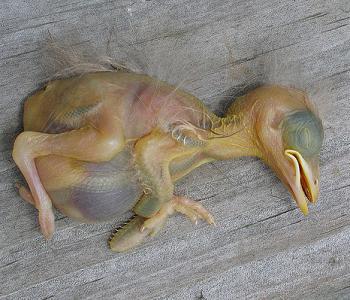 File:Deadbabybird.jpg