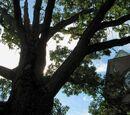 Beware the Oak