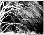 WEEPING-WILLOW-TREE-IN-BLACK-AND-WHITE