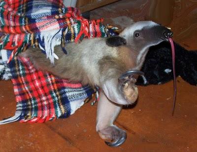 File:Anteater4.jpg