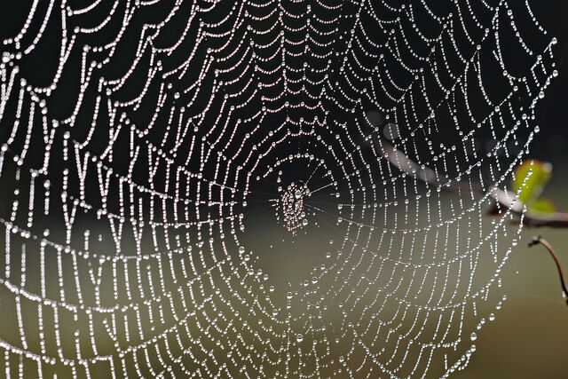 File:Spider web with dew drops04.jpg