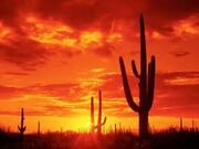 Arizonacactus