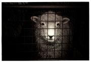 Sheep-cage