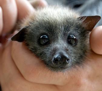 File:Cute bat.jpg