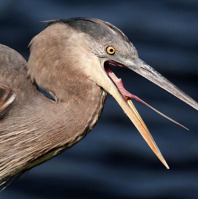 File:Angry Heron.jpg