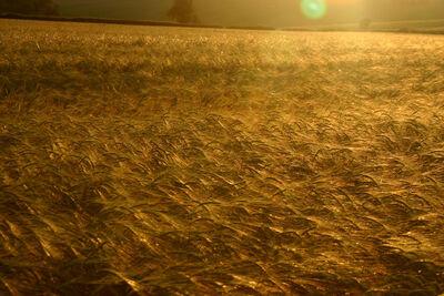 Rye-field