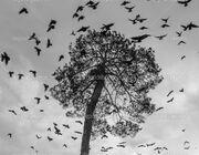 Depositphotos 28552289-stock-photo-a-flock-of-crows-circling