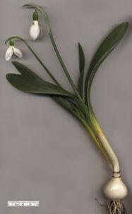370px-Snowdrop Galanthus elwesii