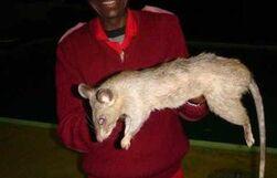 Giant-killer-rat3