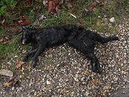 Dom black cat full
