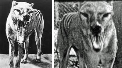 Thylacine18