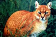 African gold cat