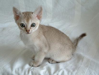 File:Singapura Kitten.jpg