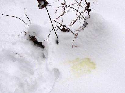 File:Yellow-snow 8859-410x307.jpg