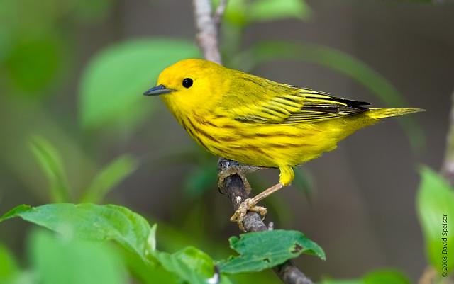 File:Yellow warbler 2.jpg