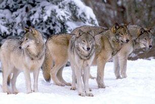Wolfpck2