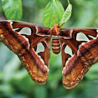 File:Atlas moth-01.png