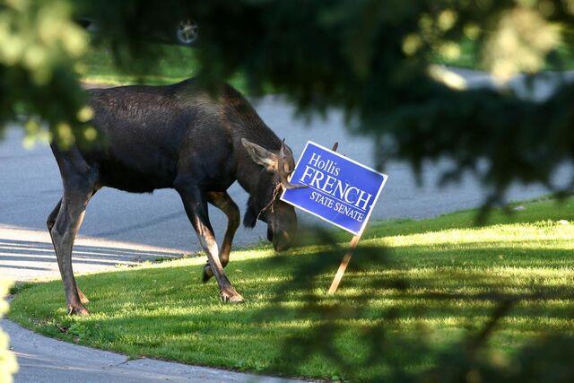 File:Freench moose.jpg