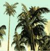 Palmen-Bild, San Andreas, SA