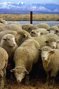 399px-Flock of sheep.jpg