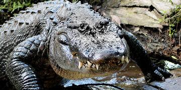 File:American Alligator.jpg