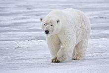 File:220px-Polar Bear - Alaska.jpg