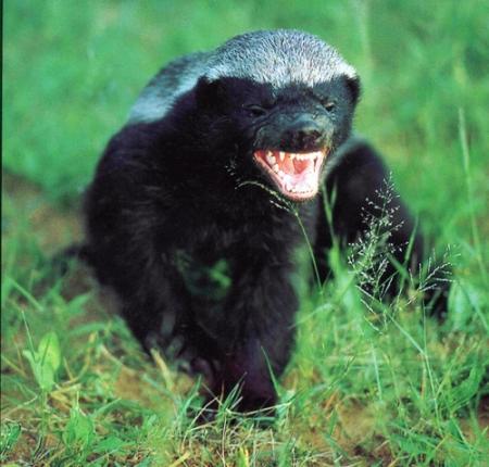 File:Www.safari4less.com-honeybadger.jpg